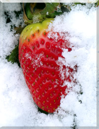 Strawberries under snow
